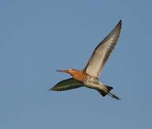 Bird godwit